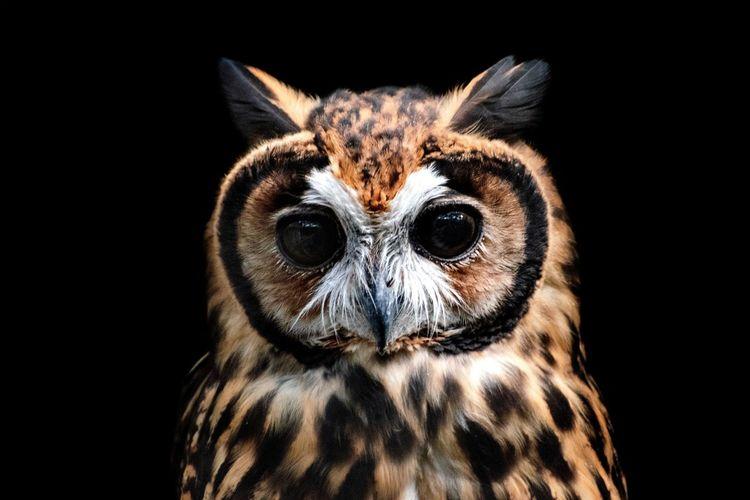 Búho Bird Black Background Pets Portrait Leopard Looking At Camera Dog Owl Close-up Animal Body Part Iris - Eye Eyelid Eyesight