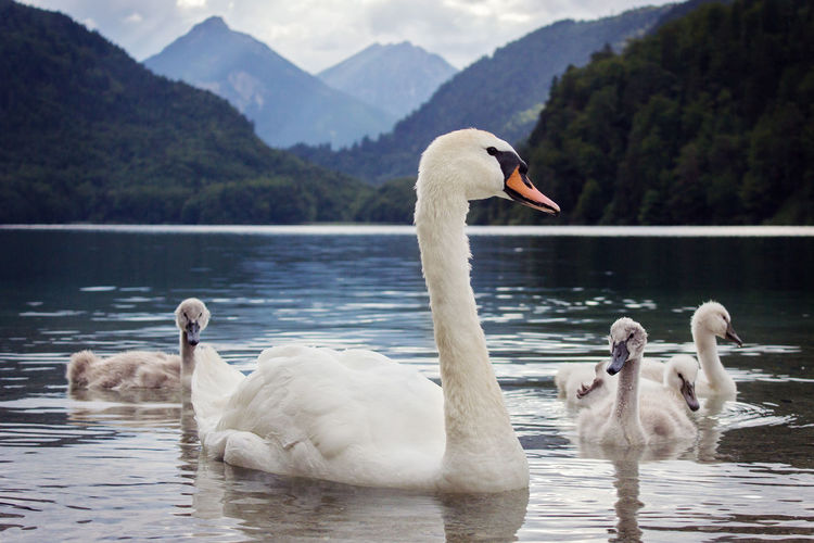 Swan And Cygnets Swimming On Lake