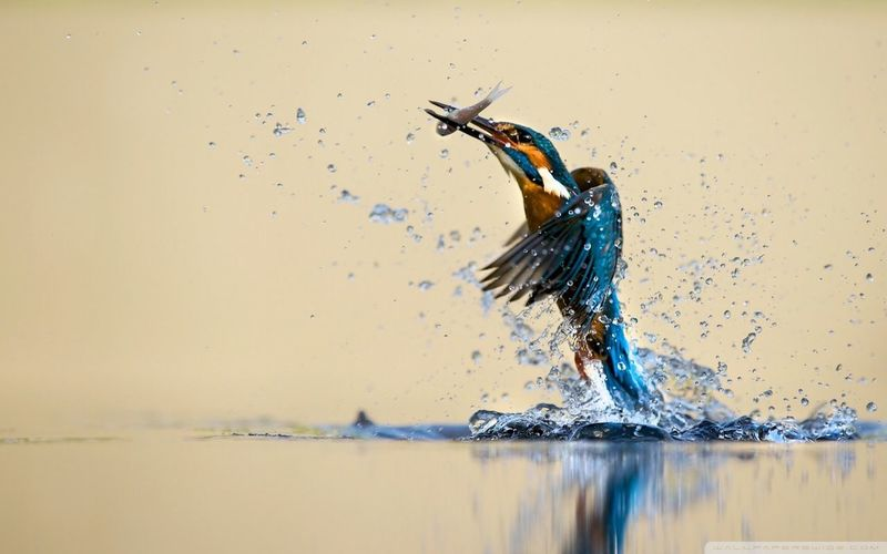 Side view of kingfisher carrying fish in beak while taking off from lake