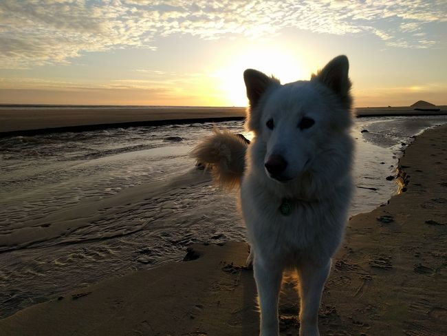 Animal Themes Beach Beauty In Nature Day Dog Domestic Animals Horizon Over Water Mammal Nature No People One Animal Outdoors Pets Sand Scenics Sea Shore Sky Standing Sunset Water