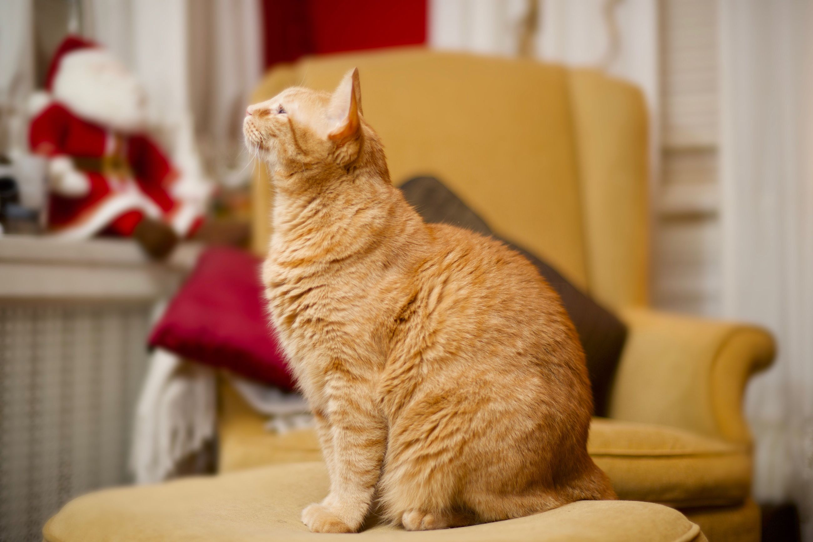 pets, one animal, domestic animals, mammal, domestic cat, animal themes, indoors, home interior, feline, no people, cat, table, close-up, day