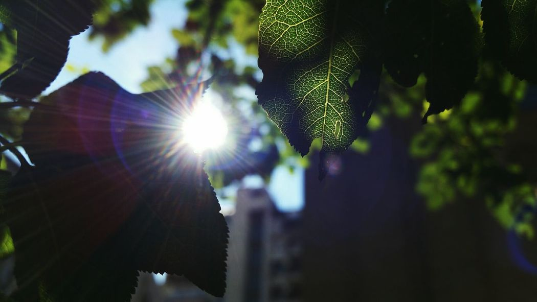 Sunbeam Sun Sunlight Lens Flare Close-up Branch Focus On Foreground Nature Green Color Day Shinning Beauty In Nature Outdoors Tranquility Leaf Sunny Day Growth Back Lit