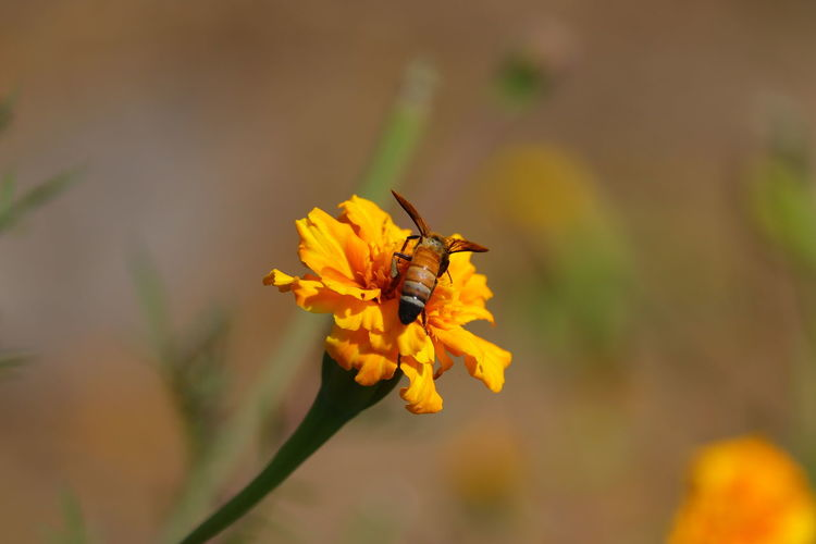 A bee collects honey from marigold flower