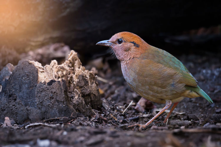 Rusty naped pitta. Animal Themes Animal Wildlife Animals In The Wild Bird Close-up Day Naped Nature No People One Animal Outdoors Perching Pitta Rusty