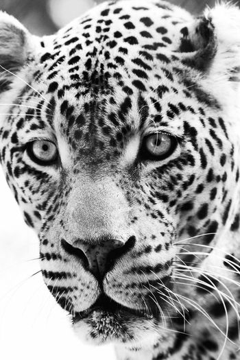 One Animal Animals In The Wild Animal Themes Leopard Animal Head  Portrait Looking At Camera Animal Wildlife Whisker Animal Markings Mammal Safari Animals Day No People Close-up Nature Outdoors Wildlife Black And White Monochrome Check This Out in Kruger Park , South Africa MISSIONS: