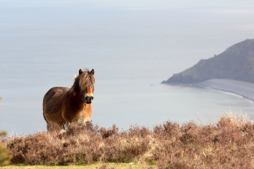 Premium Collection Exmoor Pony Porlock Somerset Animal Animal Themes Animal Wildlife Beauty In Nature Day Domestic Animals Exmoor Field Grass Horse Land Landscape Livestock Mammal Nature No People One Animal Sky Vertebrate