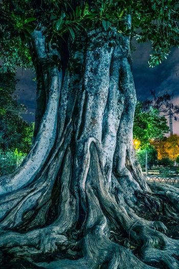 Sevilla Tree at