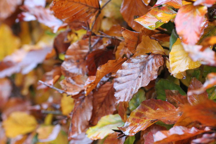 Hedgegerow Hedge Hedgerow Leaves Leaf Autumn Change Plant Part Orange Color Close-up Day No People Beauty In Nature Nature Full Frame Maple Leaf Dry Plant Vulnerability  Tree Backgrounds Fragility Selective Focus Outdoors Autumn Collection Natural Condition Fall