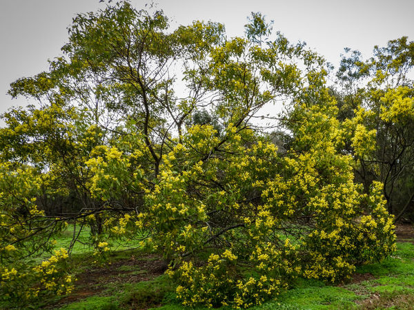 Golden wattle tree Australian Native Trees Natural Beauty Nature Photography Yellow Flower Beauty In Nature Environment Field Flowering Tree Golden Wattle Green Color Growth Land Native Tree Nature Nature_collection Outdoors Plant Scenics - Nature Sky Tranquil Scene Tree Wattle Wattle Flower Wattle Tree Yellow Flowers