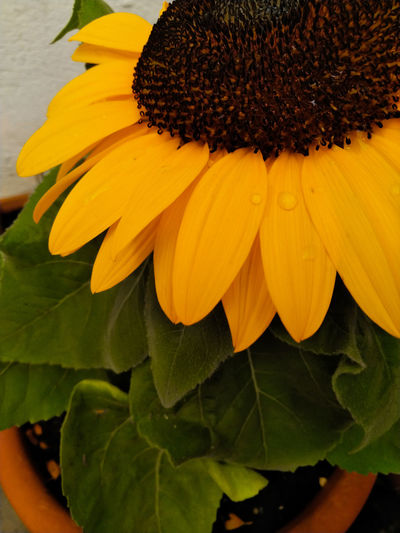 Close-up of yellow sunflower on plant