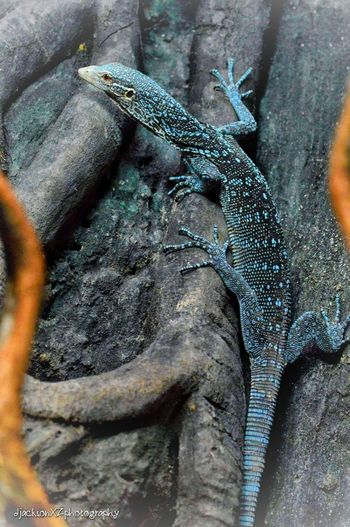 Blue Tree Monitor … No People Nature Day Animal Wildlife Close-up One Animal Reptile Animal Themes ZSL London Zoo London Londonzoo Reptile Photography Reptilehouse Zoo Zoophotography Photography Wildlife Wildlife & Nature