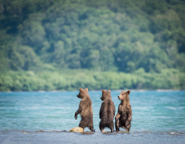 Bear standing in river