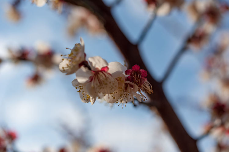 Plant Flowering Plant Flower Fragility Beauty In Nature Freshness Vulnerability  Growth Nature Selective Focus Close-up Day Tree Focus On Foreground Springtime Branch Blossom Petal Outdoors White Color Pollen Cherry Blossom Flower Head Cherry Tree