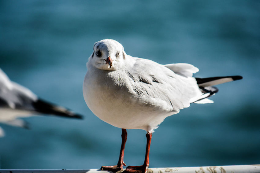 Bird Animal Animal Themes Vertebrate Animal Wildlife Animals In The Wild Focus On Foreground One Animal Seagull Perching Day Close-up Full Length No People Nature White Color Outdoors Sea Bird Water Sea Beak