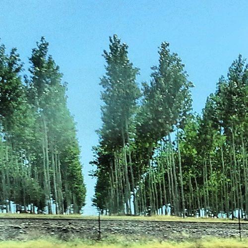 Poplars? Trees Rows Formation Poplars
