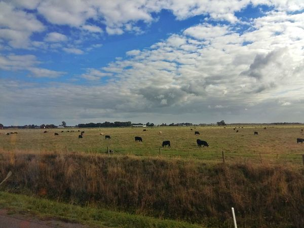 Sky Cloud - Sky Grass bull Cow Philip Island Koo Wee Rup Meat Large Group Of Animals Animals In The WildAustralia Landscape Outdoors Nature No People Day Animal Themes Rural Scene Mammal Beauty In Nature