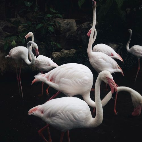 Animal Animal Family Animal Themes Beauty In Nature Bird Black Background Flamingo Low Key Medium Group Of Animals Nature Wild Wildlife