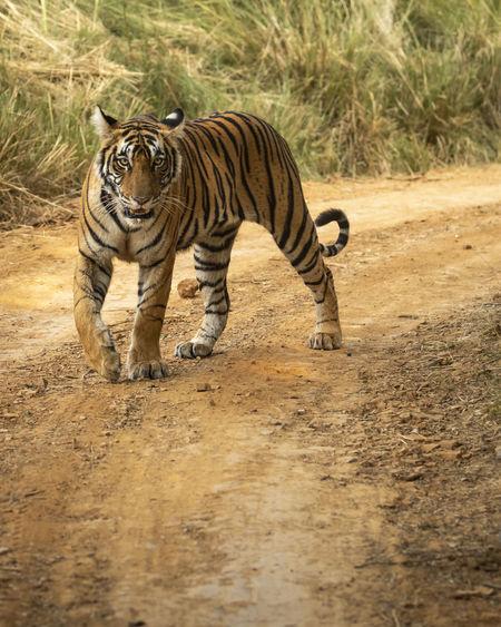 Full length of a cat walking on dirt road