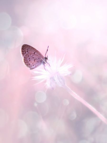 Insect Butterfly - Insect Pink Color Flower Animal Wildlife Macro Bright One Animal Fragility Plant No People Ethereal Pastel Colored Close-up Animals In The Wild Nature Animal Themes Summer Defocused Beauty