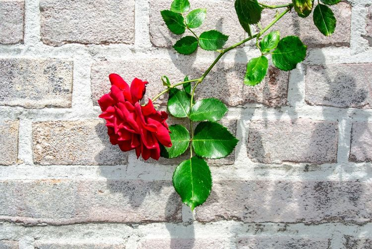 Flower Red Nature Fragility Beauty In Nature Day Growth No People Flower Head Freshness Close-up Plant Valentine's Day  Love Rose - Flower Simplicity Flowers Red Flower Valentine Brick Wall Wall - Building Feature Petal Blooming Leaf Stone Wall Creeper Plant Creeper Valentine Day - Holiday Wall Vulnerability