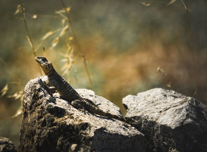 Reptile Animal Wildlife Animals In The Wild Animal Animal Themes One Animal Focus On Foreground Rock Reptile Lizard Outdoors Day Sunlight