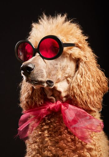 Close-up of dog with sunglasses against black background