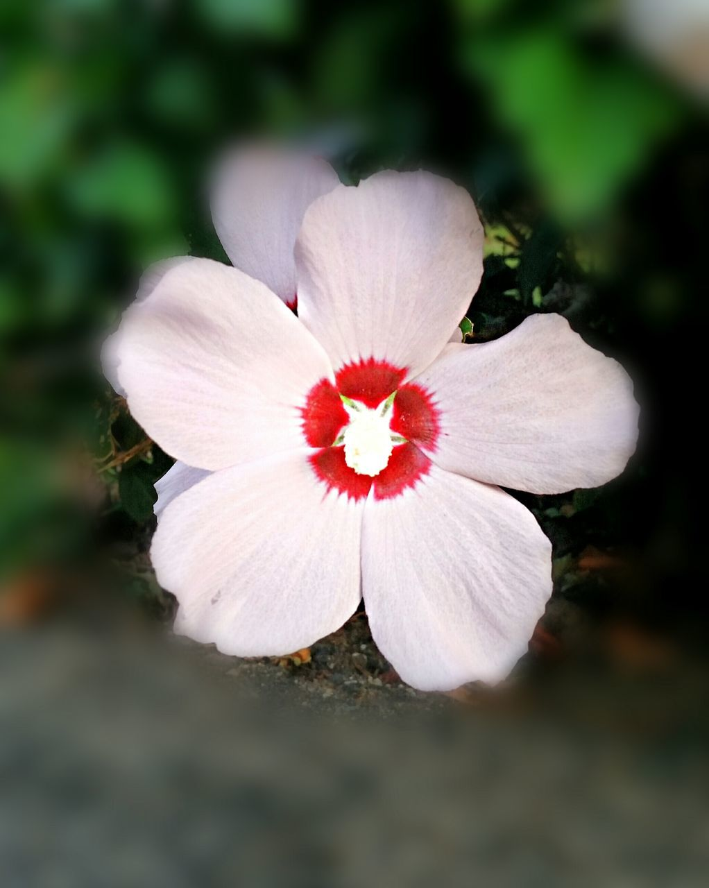 flower, petal, flower head, fragility, nature, growth, white color, beauty in nature, no people, close-up, day, freshness, outdoors, plant, blooming, hibiscus
