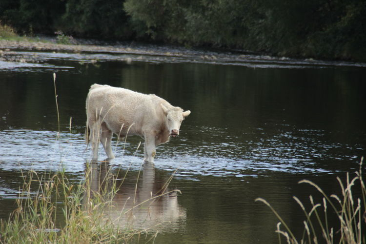 Cow at river