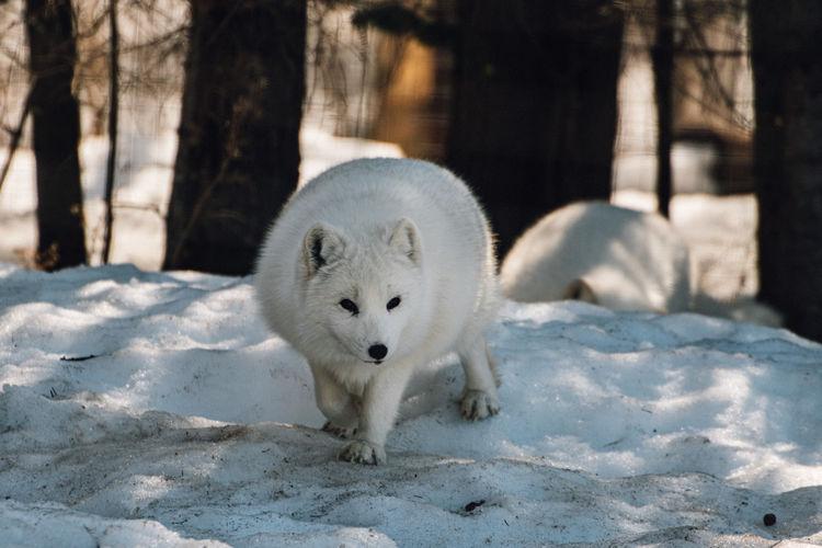 Snow fox in a snow