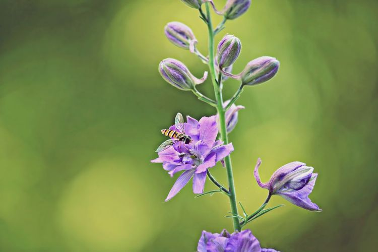 Bee pollinating by purple flowers