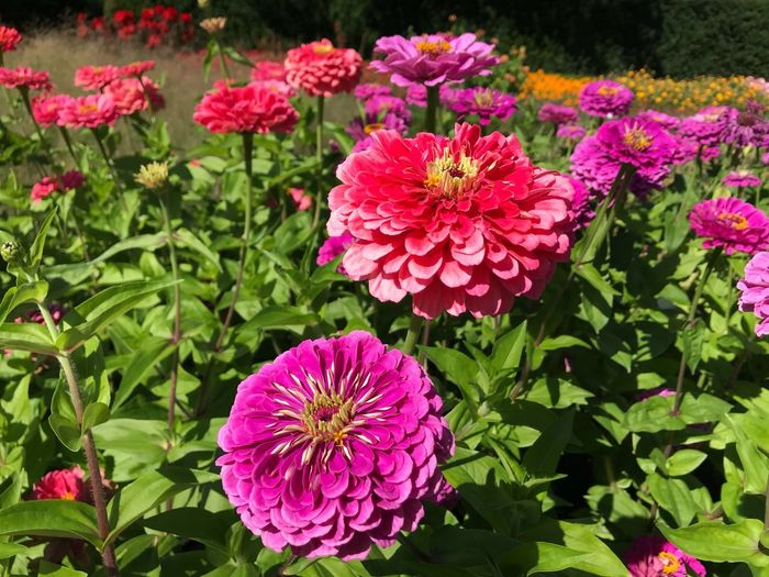 So striking colors Flower Head Day Green Color Leaf Inflorescence Petal No People Plant Part Park - Man Made Space Pink Color Nature Vulnerability  Close-up