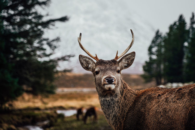 Deer in rannoch moor in scotland mountains and forest nature