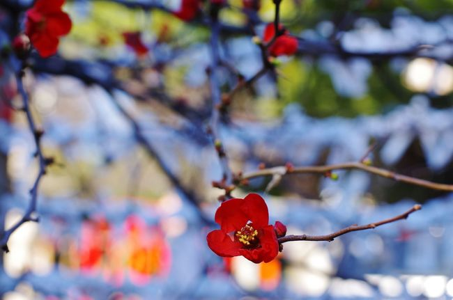 Flower in Winter Bokeh Flower Winter Winter Trees Quince Japanese Quince Red Nature Growth Tree Flower Branch Close-up Fragility Freshness
