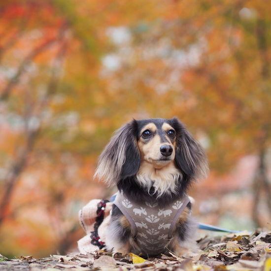 Dogs Of EyeEm Dog Minituredachshund Dachshund 愛犬 お散歩 秋photo Autumn Colors Autumn 紅葉 もみじ