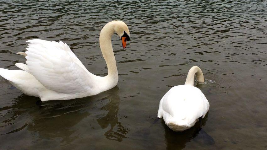 Swan Swans Swantastic Schwan  Schwäne Schwanenfamilie
