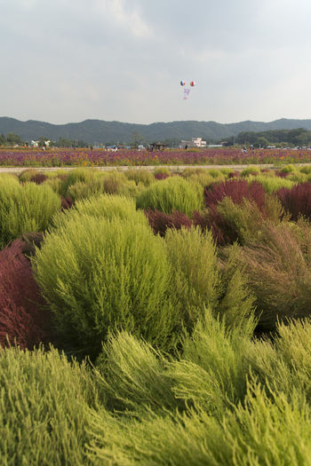 festival of globe amaranth flower with bellvedere at Nari Park in Yangju, Gyeonggido, South Korea Agriculture Beauty In Nature Bellvedere Day Field Flying Grass Growth Landscape Mid-air Nature No People Outdoors Plant Sky Tree