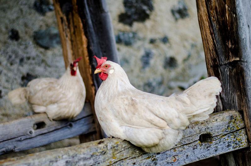 Chickens in Alp Laret, Switzerland. Alps Animals Chicken - Bird Hen Outdoors Resting Time Stable Switzerland