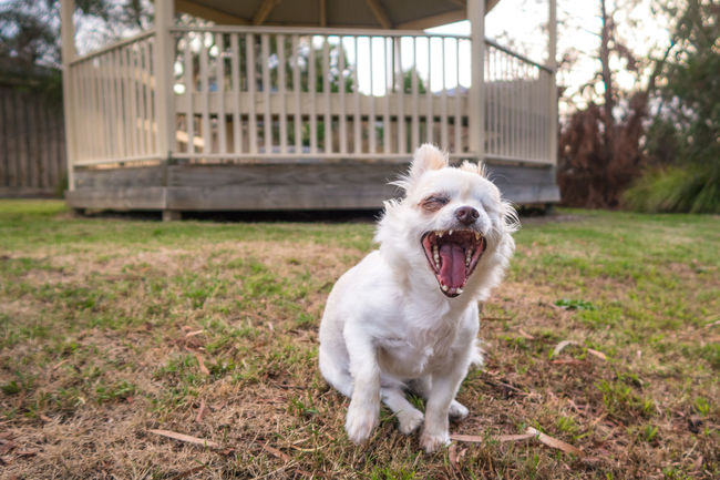 LOL!! Animal Themes Chihuahua Cute Dog Domestic Animals Full Length Laughing Laughing Out Loud Looking At Camera One Animal Perspective Pets Portrait Puppy Sitting
