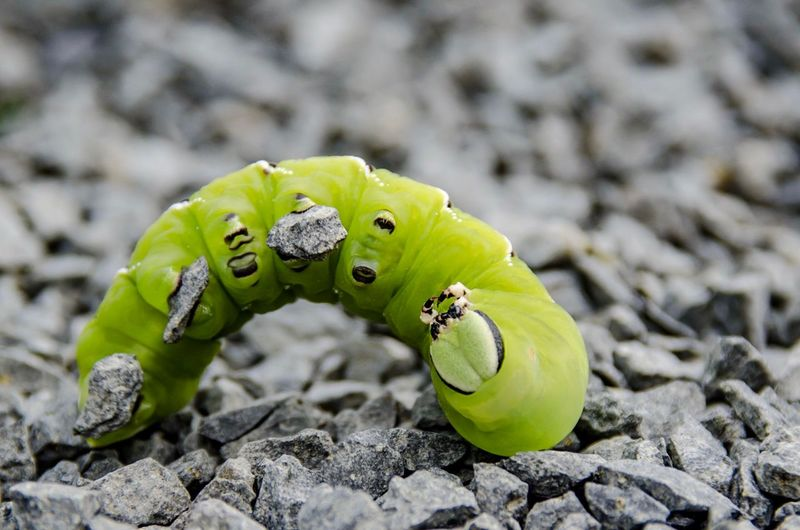 Ligusterraupe Ligusterraupe Animal Themes Animal Green Color Animal Wildlife Close-up Animals In The Wild One Animal Insect Caterpillar First Eyeem Photo