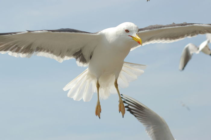 Animal Themes Animal Wildlife Animals In The Wild Beak Bird Close-up Day Flying Low Angle View Mid-air Nature No People One Animal Outdoors Sea Bird Seagull Sky Spread Wings White Color
