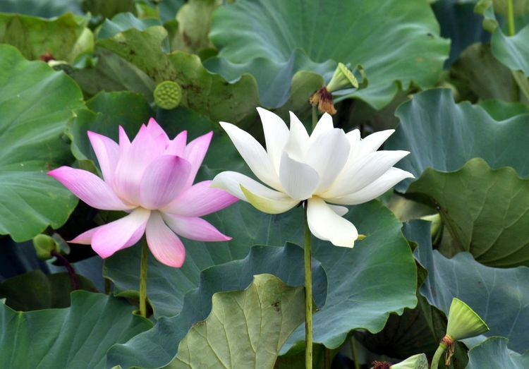 Close-up of pink water lily amidst leaves