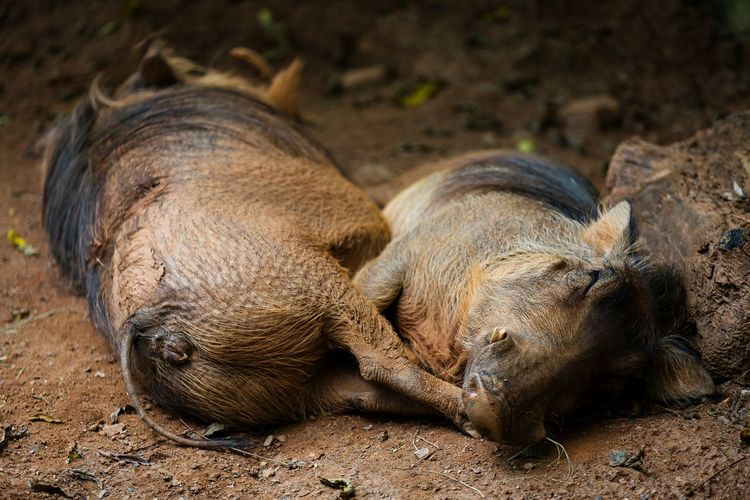 Wild Animals Boars Sleeping Nature