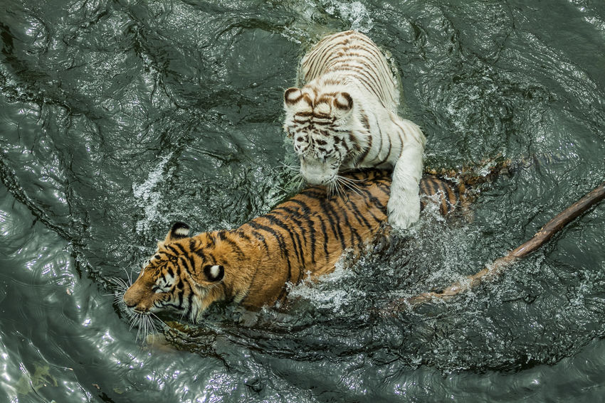 feline BeNGaL TiGeR Bengal Panthera Tigris Tigris Tigers Animal Animal Themes Animal Wildlife Bengal Tigers Feline Nature No People Playing Tiger Tigre Tigre De Bengala White Tiger