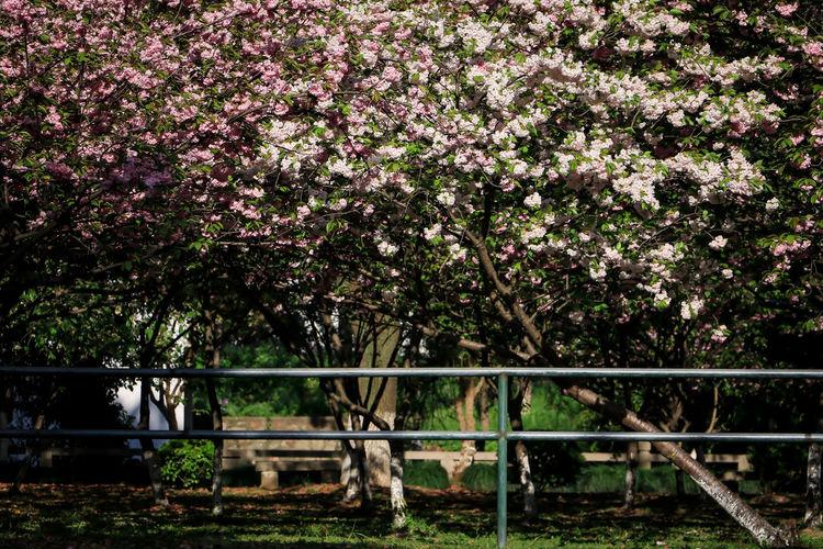 樱花sakura Sakura