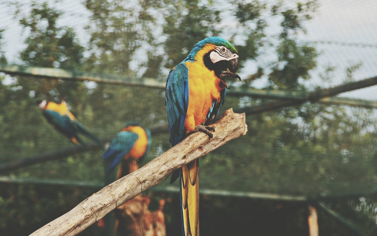 Gold And Blue Macaw Perching On Tree