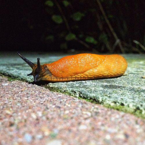 Arion vulgaris IPhoneography IPhone IPhone 8 Arion Arion Vulgaris Snail🐌 Snail Animal Themes One Animal Animals In The Wild Animal Animal Wildlife Invertebrate Close-up Outdoors Slug EyeEmNewHere