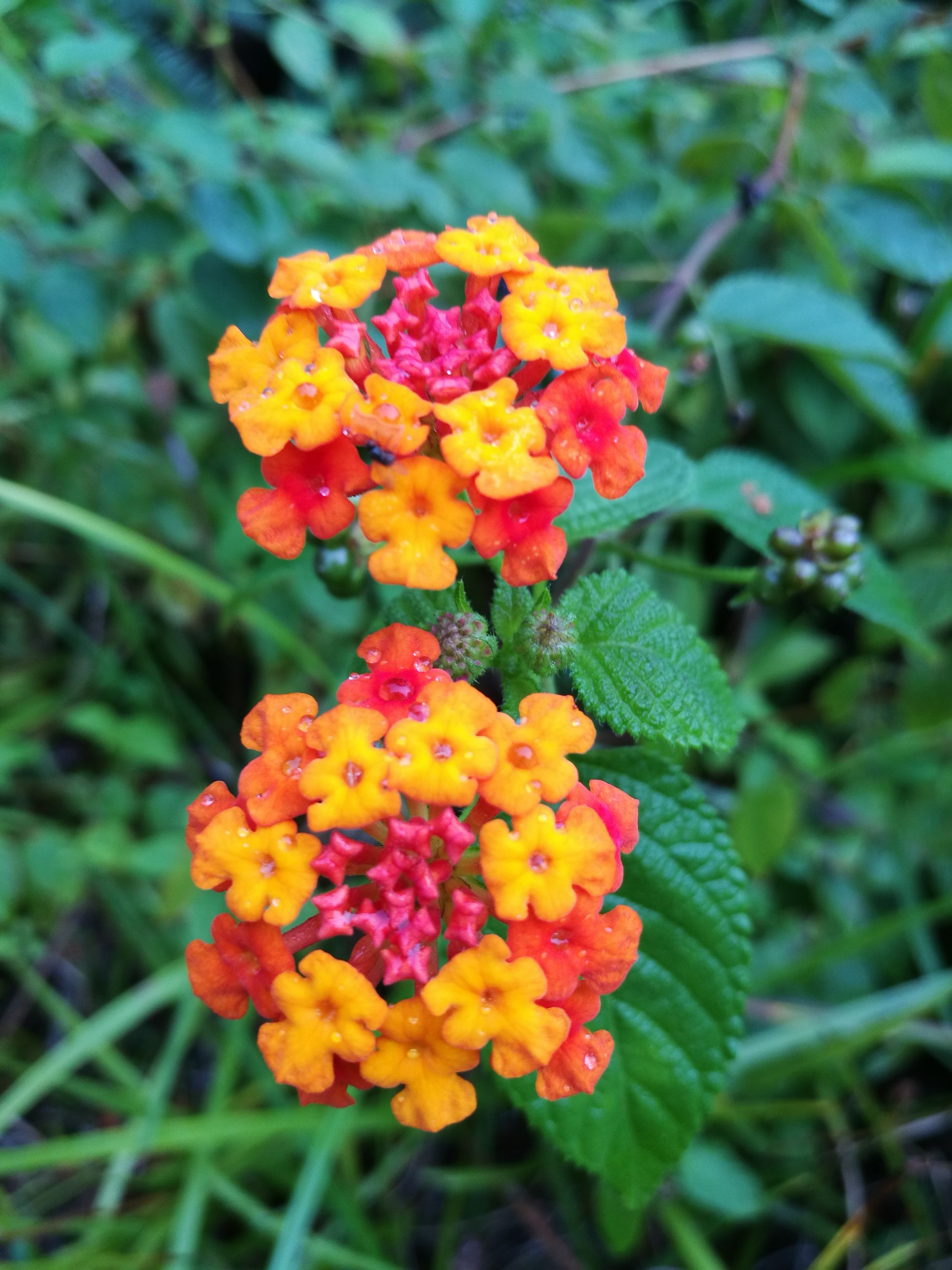 flower, fragility, beauty in nature, freshness, nature, growth, focus on foreground, plant, blooming, petal, flower head, outdoors, day, close-up, no people, lantana camara
