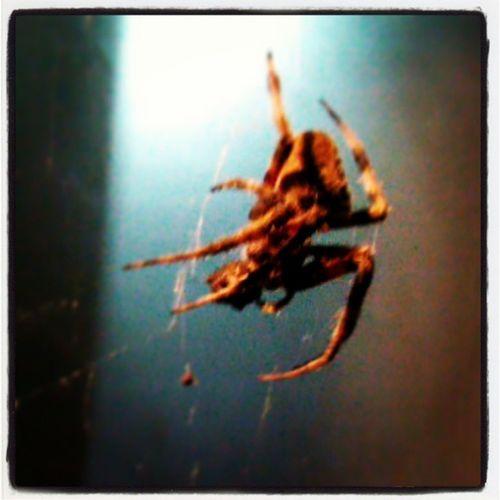 Spiderweb Spider Spiderlife
