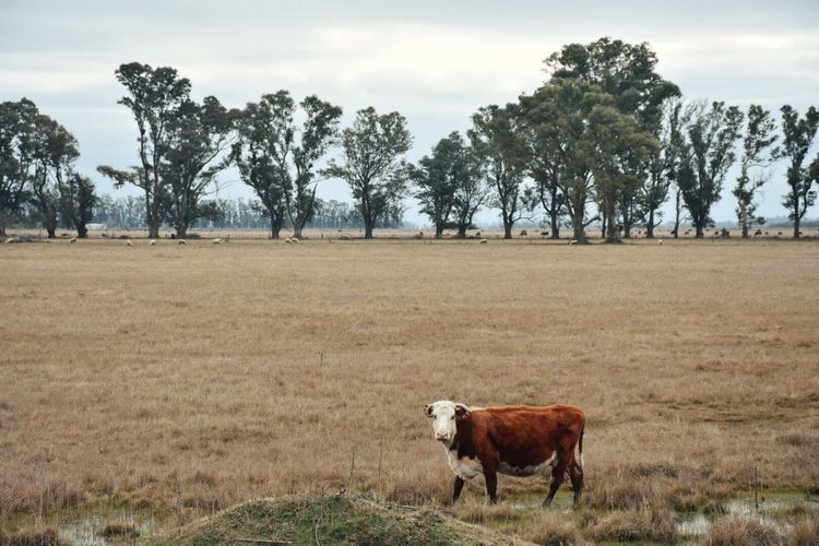 Cow standing on landscape