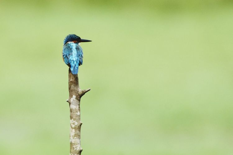 Close-up of kingfisher perching on twig